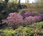gornadolinazrhododendroncanadense_fothgrzeszczak-nowak