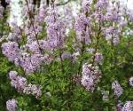 maj-to-pelnia-kwitnienia-lilakow-syringalaciniata_fotjkomaniecka