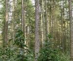 17_brekinia-wprowadzona-w-drzewostan-modrzewiowy