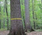18_rokickie-olbrzymy-drzewostany-nasienne-modrzewie-i-swierki-1