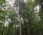20_rokickie-olbrzymy-drzewostany-nasienne-modrzewie-i-swierki-3