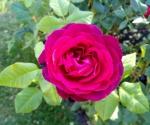 rosarium-forst-vi-2017-16