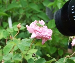 rosarium-forst-vi-2017-21