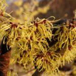 Oczar pośredni (Hamamelis ×intermedia) 'Pallida' - fot. Małgorzata Gębala
