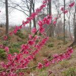 Morela japońska (Prunus mume) 'Beni-chidori' - fot. Hanna Grzeszczak-Nowak